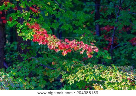 Tree foliage starting to turn colors on a Wisconsin maple tree in September
