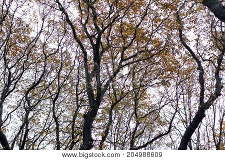 Wet Rainy Autumnal Forest Crowns With Yellow Leaves  And Black Branches