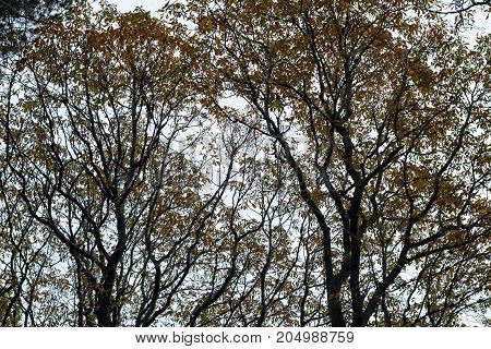Wet Rainy Autumnal Forest Crowns With Yellow Leaves