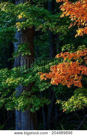 Vertical image of a Wisconsin forest turning colorful in September