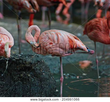 Chilean flamingo (Phoenicopterus chilensis) are cleaning feathers.