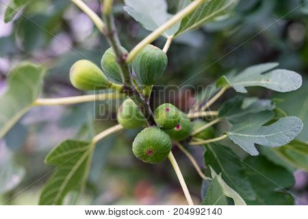 ripe fig hanging from plant tree side view close up macro