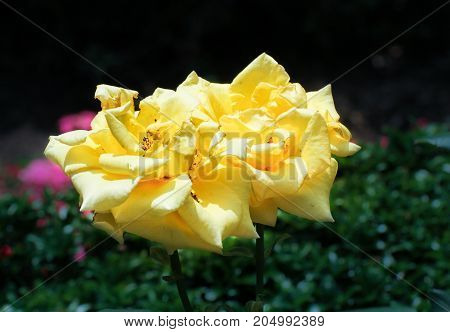 Yellow roses on a dark background. Collections of flowers in the Nikitsky botanical garden.