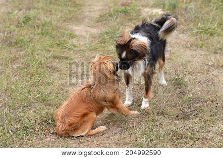 Two dogs meeting at the summer field