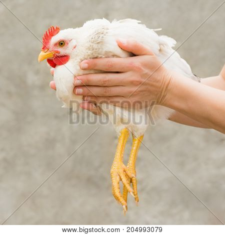Female hands are holding a white chicken on gray background. Livestock farm animal agriculture.