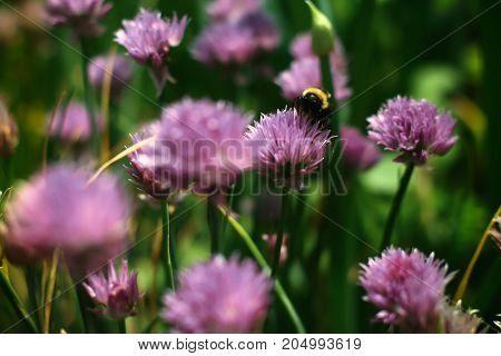 Bumblebee collecting nectar on a red clover flower. Soft focus