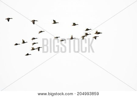 Flock of Mallard Ducks Flying on a White Background