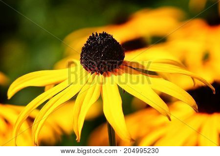 Orange Coneflower 'Goldsturm' (Rudbeckia fulgida), flowers of summer