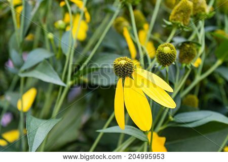 yellow flowers in garden hanging down end of summer close up side view with green leaves