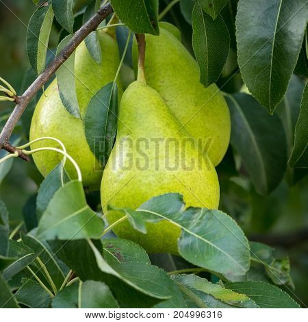 Green ripe pears hanging on a tree with leaves