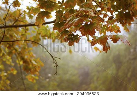 Autumn background with branches with yellow leaves in the park