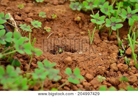 Wasp emerging from the subterranean nest between grasses, vespula germanica