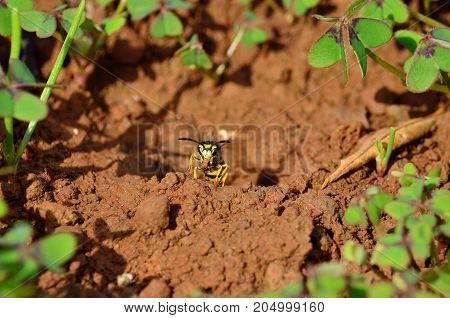Wasp emerging from the subterranean nest with mud between its jaws, vespula germanica
