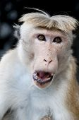 Portrait of wild smart monkey with clever and calm look poster