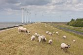 Grazing sheep with some big windmills in the sea behind them poster