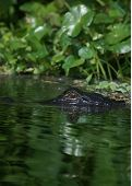 Wild Gator lurking just at the surface of water side head shot. poster