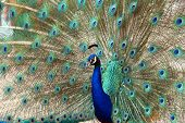 closeup of a peacock dance attracting peahen poster