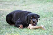 portrait of a angry purebred rottweiler with bone poster