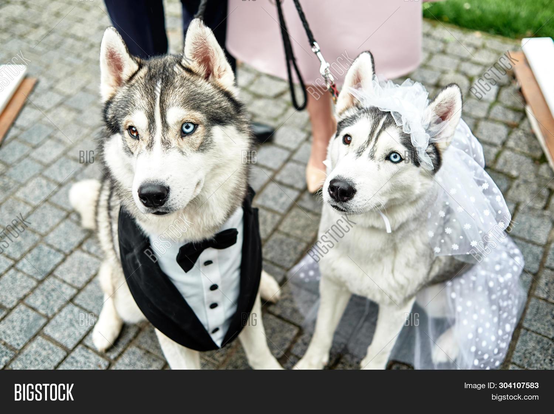 Siberian Husky Dogs Image Photo Free Trial Bigstock