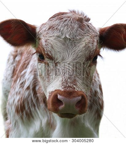 Close-up Of Head And Face Of Tan Brown Newborn Roan Calf  Looking At The Camera Isolated On White