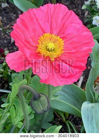 Pink poppy flower in a garden