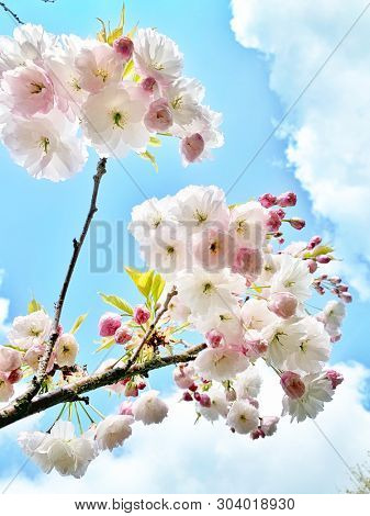 Pink cherry blossom flowers in spring
