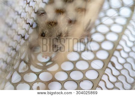 Brown rat trapped steel cage or mousetrap. The eyes of the rat indicates fear. poster