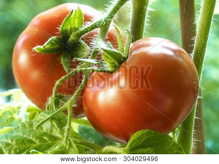 Two Tomatoes Growing on Plant, Home Gardening, Homegrown Ripe Red Tomatoes are on the Green Foliage Background, Hanging on the Vine of a Tomato Tree in the Garden Closeup, Cultivated in the Greenhouse