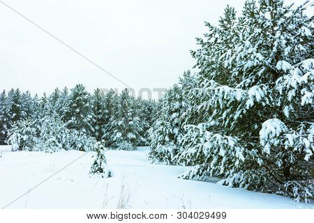 Whitened Fir Trees with Fresh Snow, Lovely Winter Scenery, Majestic White Spruces Glowing by Sunlight, Wintry Scene, Winter Snow-Covered Trees in the Ural Mountains, Winter Landscape
