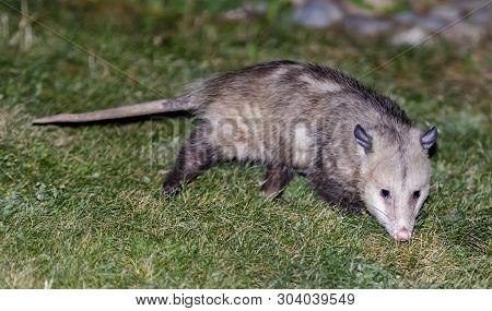 North American Opossum (virginia Opossum)  Foraging In A Residential Property Backyard. Santa Clara
