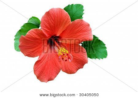 Flower Of Hibiscus With Petals On  Pestle