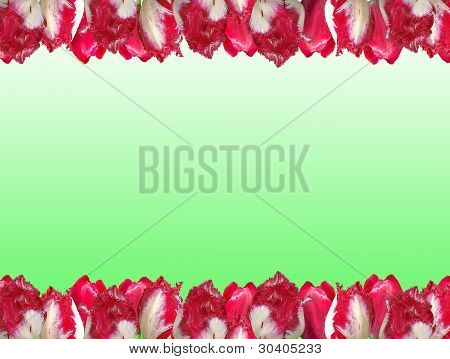 Frame From The Red-white Tulips, Isolated On A White And Green Background.