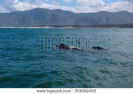 Southern Right Whale Female With Her Calf In The Indian Ocean At Hermanus, South Africa