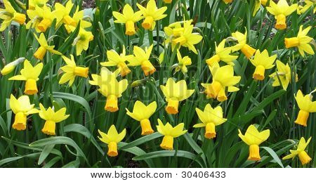 A bevy of jetstar daffodils