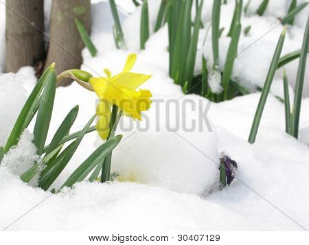 Daffodil blooming through the snow