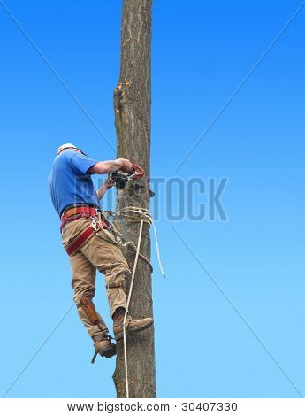 Man cutting down oak tree