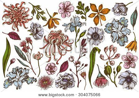 Vector Set Of Hand Drawn Colored  Japanese Chrysanthemum, Blackberry Lily, Eucalyptus Flower, Anemon