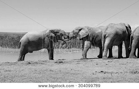 National Parks. Kiss Of Elephants At A Watering Hole. Old Postcard. Retro. Black White Photography.