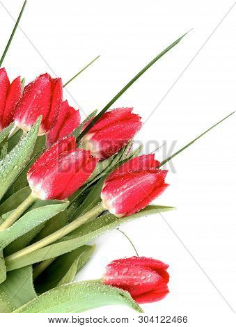 Corner Border Of Seven Red Tulips With Green Grass And Water Drops Closeup On White Background