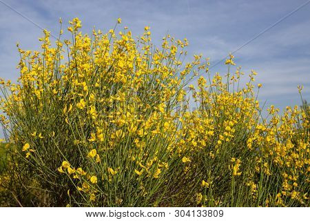 Yellow Spanish Broom (spartium Junceum), Mediterranean Region In France,on Blue Sky Background