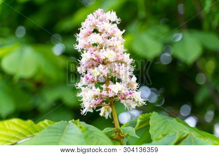 Cluster With White Chestnut Flowers. White Chestnut Blossom With Tiny Tender Flowers And Green Leave