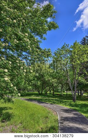 Blooming Rowan Tree, Sorbus Aucuparia Near Walkway In The Spring City Park At Bright Sunny Day With