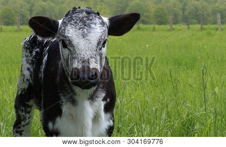 Close-up Of Newborn Black And White Mottled Roan Calf Isolated In The Meadow