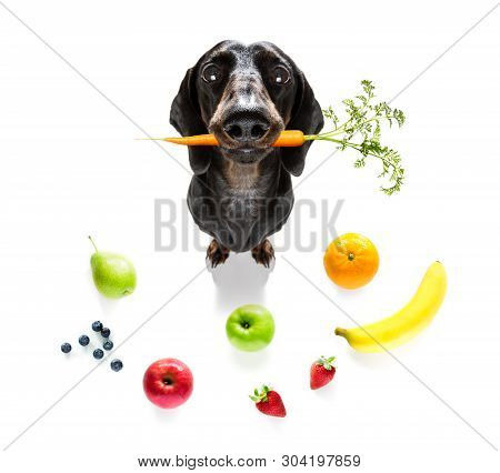 Sausage Dog With Guilty Conscience  For Overweight, And To Loose Weight , Isolated On White Backgrou