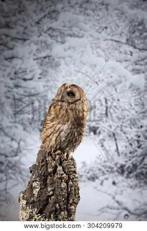 Beautiful Tawny Owl Strix Aluco on Winter snow forest background poster