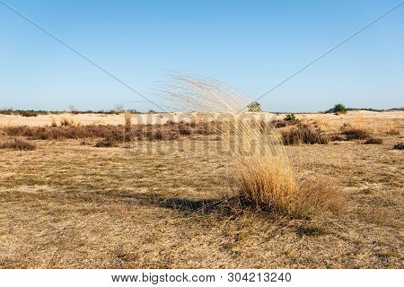 Dry Sod Of The Grey Hair-grass Or Corynephorus Canescens In The Dutch National Park Loonse En Drunen