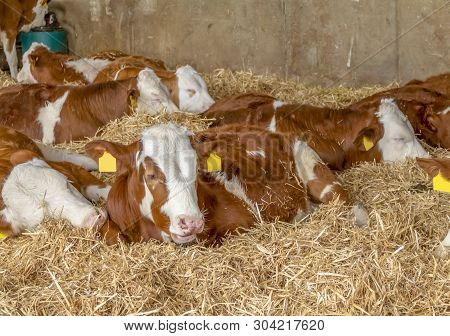 Some Cattle Resting In A Stable Seen In Southern Germany