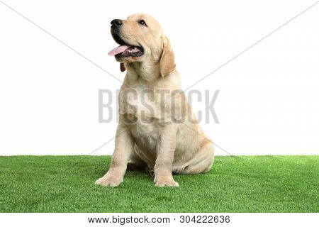 Cute Yellow Labrador Retriever Puppy On Artificial Grass Against White Background