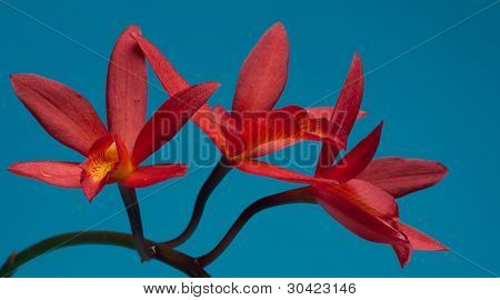 Red Orchid On Blue Background