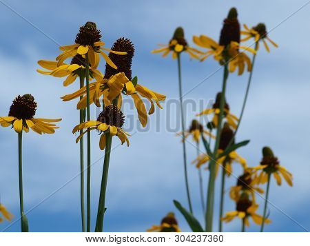 Corn Flowers Bloom Against A Blue Sky